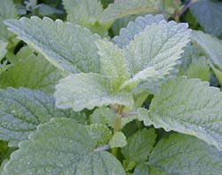 Lemon balm has been used medicinally for centuries.