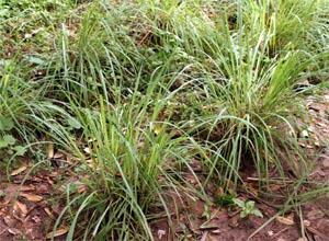 Lemongrass growing in the tropics (Zanzibar).