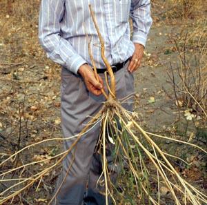 The root system of Lepidium latifolium.