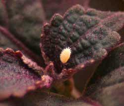 A mealybug crawls on a red coleus plant.