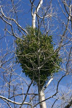 Mistletoe Master Gardener Program