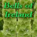 Bells of Ireland, Molucella laevis Title Image