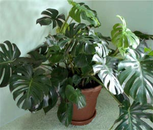 Split-leaf philodendron makes a goodhouseplant in the right conditions