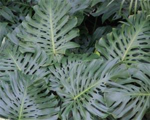 Leaves of split-leaf philodendron.