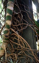 Clinging aerial roots of split-leaf philodendron.