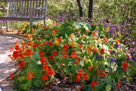 Nasturtium is an easy-to-grow annual.