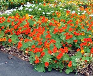 Nasturtium flowers are edible.