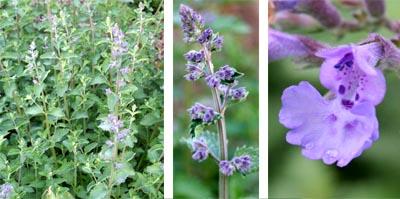 Walkers Low produces soft, blue-purple flowers.