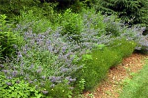 Walkers Low catmint flowering among other perennials.