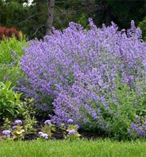 Other cultivars of catmint grow taller than Walkers Low.