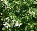 Some cultivars have white flowers.