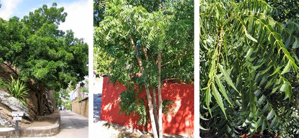 The neem tree, Azadirachta indica.