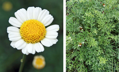 Chrysanthemum cinerariaefolium, the source of pyrethrins.