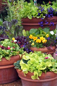 Lettuce is a great addition to spring containers.