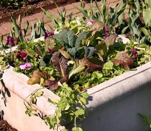 Lettuce and kale combine with pansies.