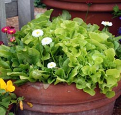 Small, bright green lettuce leaves are a fresh, spring-like contrast to the white and red Bellis flowers.