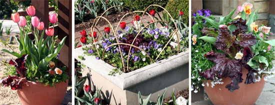 Red looseleaf lettuce and pink tulips combine in an early spring container. Red leaf lettuce and pansies in a container surrounded by tulips. Red looseleaf lettuce provides a color contrast with green-leaved plants.