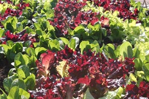 The various colors of lettuce leaves are very decorative.