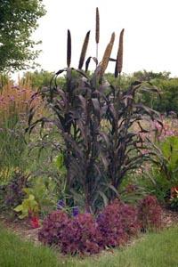 Lolla Rossa lettuce plants used as edging.