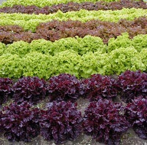 There are hundreds of lettuce varieties.