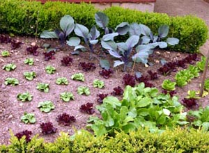 A decorative English vegetable plot.