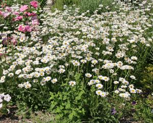 Ox-eye daisy in full bloom.