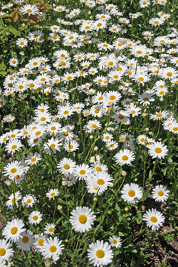 A large patch of ox-eye daisy.