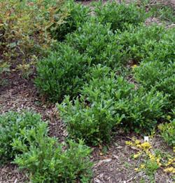 Ox-eye daisy can form dense colonies.