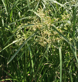 The non-descript, greenish-brown flowers are wind pollinated.