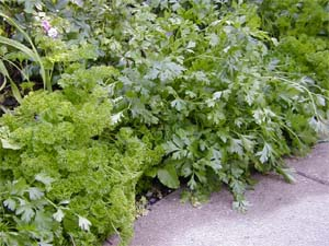 Parsley can be used as an ornamental.