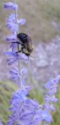 Bees are a common visitor to the flowers of Russian sage.