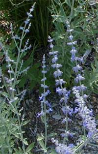 Russian sage may be slow to establish, but then is a tough garden plant.