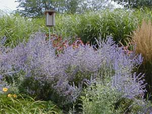 Russian sage is a great addition to the border, blooming in late summer.