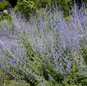 Russian sage blooms for up to 2 months.