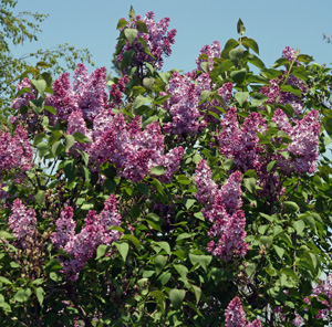 Common lilac (Syringa vulgaris) blooming.