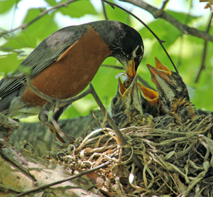 Robin feeding its young with insects.