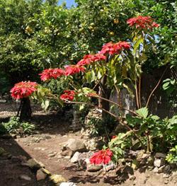 The species Euphorbia pulcherrima is a scraggly plant