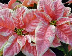 Poinsettia now comes in a huge variety of colors
