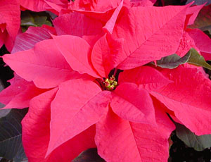 Poinsettia requires long nights without interruption in the darkness to bloom