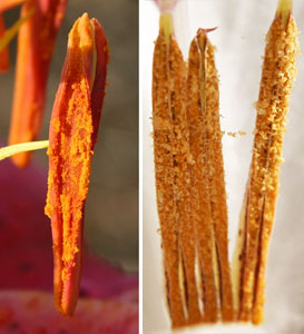 Pollen is shed from the anthers of 'Stargazer' lily (L) and peacock orchid (R)