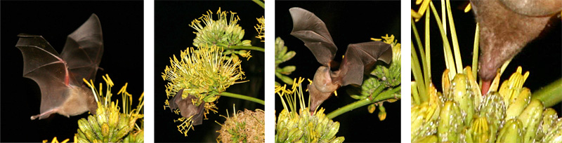 Common long-tongued bat feeding on agave flowers in Bonaire, Netherlands Antilles. This bat also pollinates columnar cacti and other plants on the island.
