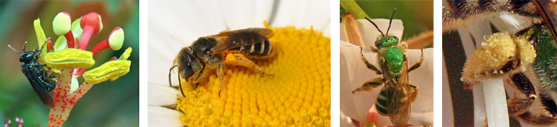 Other bees visiting a Passiflora flower (L); oxeye daisy (LC); and Gaura lindheimeri (RC). Closeup of pollen collected on leg (R)