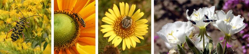 Locust borer (Cerambycidae) on goldenrod (L) and goldenrod soldier beetle on 'Prairie Sun' Rudbeckia, Wisconsin (LC); an unidentified scarab beetle on a daisy flower, Atacama desert, Chile (RC); blister beetles on Oenothera sp. in Anza Borrego desert, California (R)