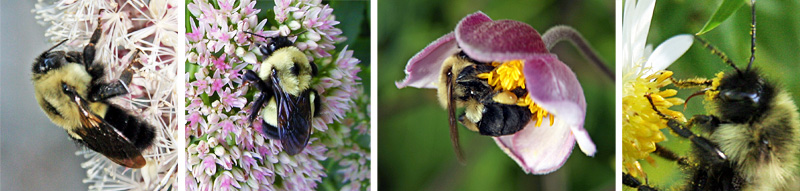 Bumble bees visiting flowers; a bumble bee with pollen dusting its face (R)