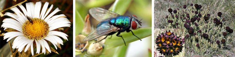 A bibionid fly on a Celmisia flower, New Zealand (L); bluebottle fly (C); smelly-flowered stapeliad Caralluma foetida, Kenya (R)
