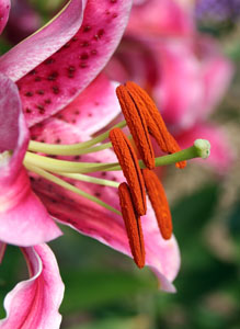 The deep orange male parts and light green, club shaped female parts stick out from a 'Stargazer' lily.