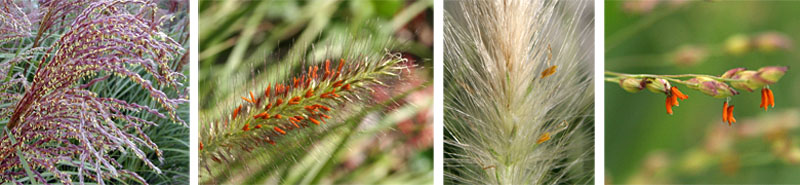 Flowers of Miscanthus sinensis Golden Light (L); Pennisetum alopecuroides Foxtrot (LC); an unidentified grass (RC); andPanicum virgatum Heavy Metal (R)