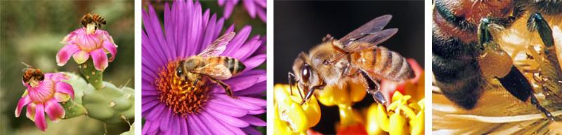 The honey bee, Apis mellifera