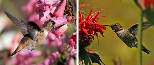 Female rufus hummingbird at penstemon (L) and male Annas hummingbird at beebalm (R), Mendocino Co., California