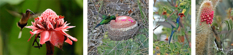 Long-tailed Hermit at torch ginger in Costa Rica (L); Male Glittering-bellied Emerald feeding on Melocactus sp. near Morro do Chapéu, Brazil (LC); Swallow-tailed Hummingbird at a tall mallow bush near Mato Verde, Brazil (RC); and Planalto Hermit at the cactus Micranthocereus polyanthus, near Brejinho das Ametistas, Brazil (R)